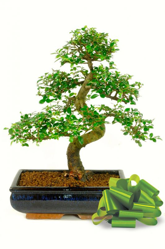 A large variety of species can easily be converted or used as bonsai gifts , as special token of love.